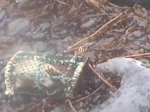Armadilha para lagostas prendeu filhote de foca na costa da Escócia. (Foto: BBC)