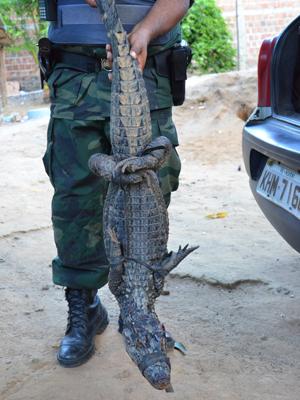 Jacaré-açu de 1,30m é capturado em João Pessoa (Foto: Walter Paparazzo/G1)