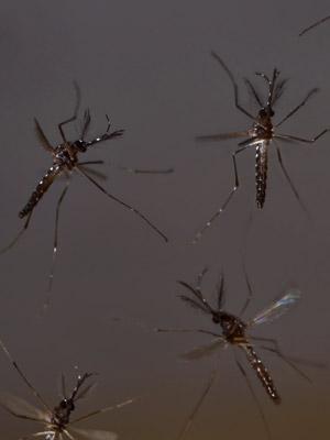 Machos do 'Aedes aegypti' usados na pesquisa (Foto: Derric Nimmo/Oxitec Ltd)