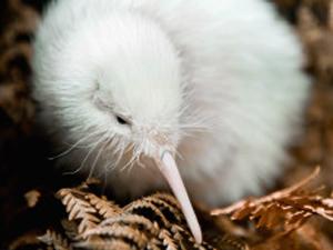 O rato branco de apenas seis meses sobreviveu a operações para tirar pedras na barriga. (Foto: Getty Images / via BBC)