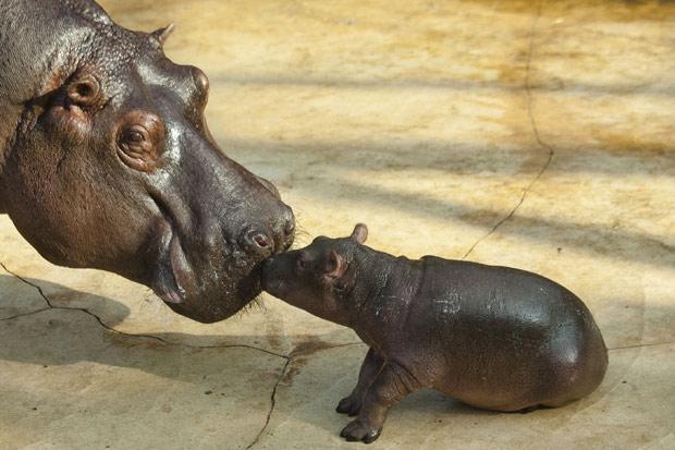 Filhote de hipopótamo e sua mãe Nicole. (Foto: AP)
