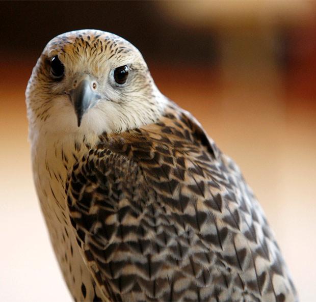 Falcão em cativeiro de empresa que treina as aves para caça, nos Emirados Árabes Unidos. (Foto: Reuters)