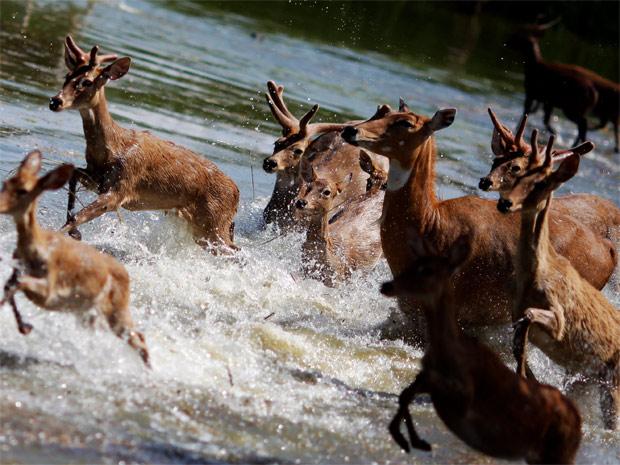 Animais em parque parcialmente alagado nas imediações de Bancoc. Os bichos do local foram levados a áreas mais elevadas para escapar da inundação. (Foto: Reuters)