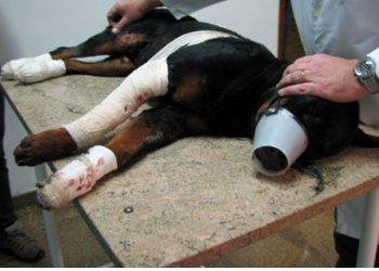 Cachorro passava por avaliação veterinária nesta quinta (Foto: Karla Gigo/EPTV)
