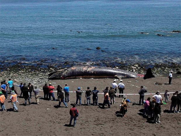 Moradores observam corpo de baleia na Praia Maule, a cerca de 550 km da capital Santiago, perto de Concepción. A região é visitada por baleias para criar seus filhotes. A causa da morte é desconhecida. (Foto: Reuters)