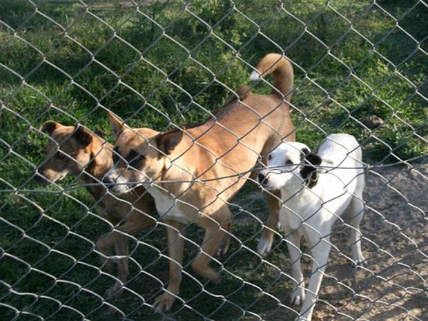 Cães saudáveis no canil de Laguna (SC), de acordo com a Secretaria de Saúde da cidade (Foto: Divulgação/Kellin Crippa Speck/Sociedade Luganense de Proteção aos Animais)