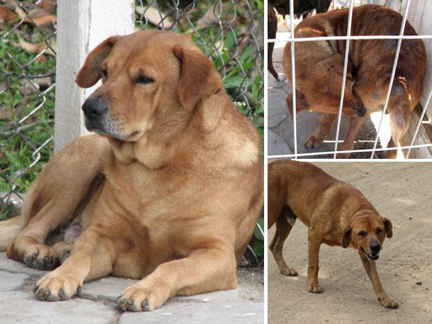 Segundo ONG, cachorro 'Gordo' chegou saudável ao canil municipal de Laguna (SC) e pegou sarna no local (Foto: Divulgação/Kellin Crippa Speck/Sociedade Luganense de Proteção aos Animais)