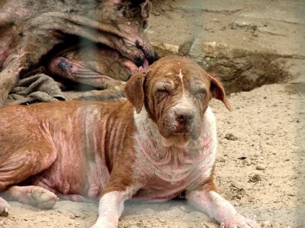 Segundo ONG, cadela 'Pittboa' chegou ao abrigo com sarna e estado de saúde dela piorou na unidade (Foto: Divulgação/Kellin Crippa Speck/Sociedade Luganense de Proteção aos Animais)