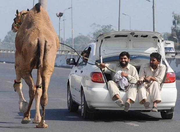 Dromedário é puxado por carro no domingo em Lahore, no Paquistão. (Foto: Arif Ali /AFP)