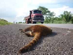 Estudo do Ibama e de uma universidade apontou 1.400 mortes de animais na BR-262 em um ano (Foto: Ronaldo Balla/TV Morena)
