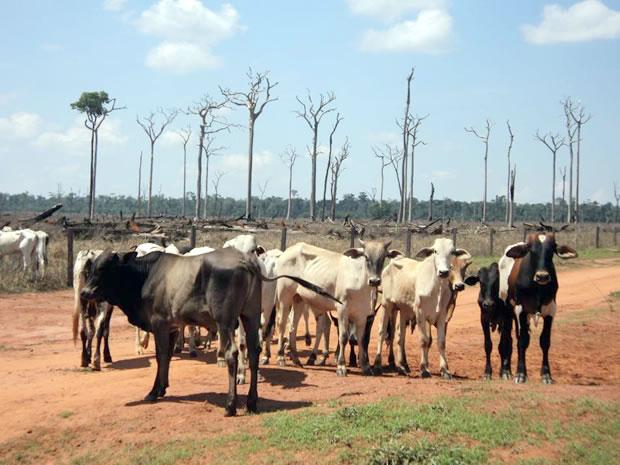 Resultado de imagem para boi em área desmatada