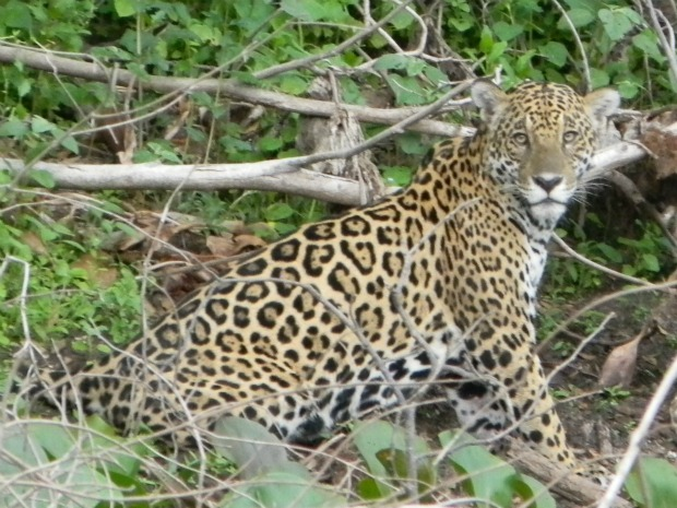 Foto tirada por Viviane mostra onça pintada em seu habitat natural (Foto: Viviane Somavilla/arquivo pessoal)