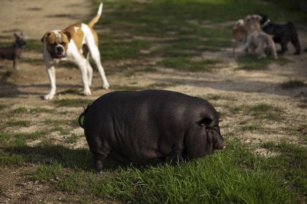 Animais parecem estranhar a presença de 'Pancita' (Foto: Emilio Morenatti/AP)
