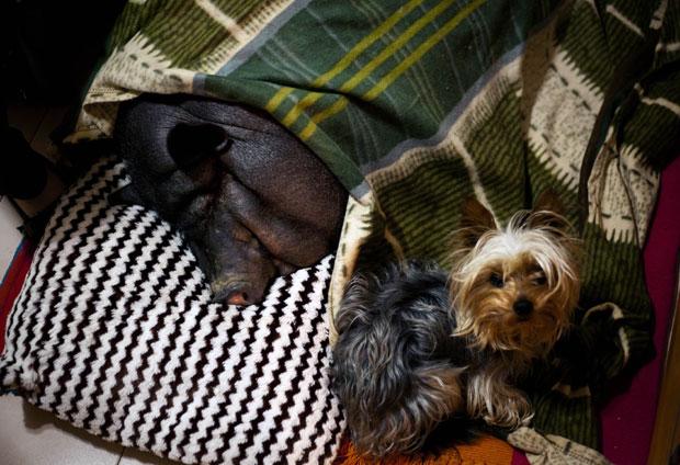 Em casa, o porco divide a cama com um cachorrinho (Foto: Emilio Morenatti/AP)