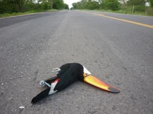 Tucano também foi vítima de atropelamento na rodovia Br-262, em Mato Grosso do Sul (Foto: Ronaldo Balla/TV Morena)