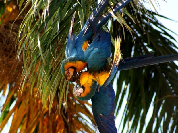 CAMPO GRANDE, Moto Grosso do Sul – A pair of rare macaws was photographed Monday afternoon making love on a frond of a coconut tree in Plaza Ramez Tebet, in downtown Tres Lagoas, 240 miles from the state capital, Campo Grande. The photograph was posted on the G1 MS news website.