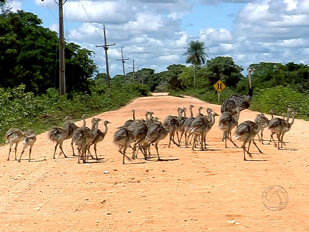 Papa emu walking along highway with 23 chicks in the Pantanal, Mato Grosso, Brazil