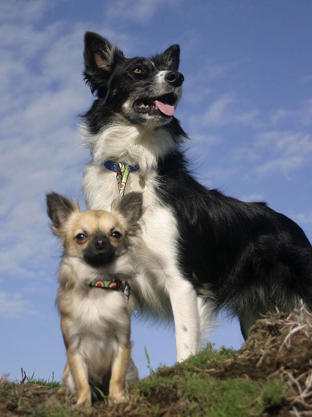 Uma cadela chihuahua que chegou a um abrigo para cães e gatos na Inglaterra com uma grave doença de pele surpreendeu os empregados ao se transformar numa eficiente pastora de ovelhas, perseguindo animais que têm várias vezes o seu tamanho. (Foto: Battersea Dogs and Cats Home/AP)