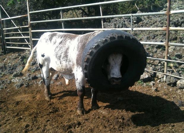 Touro ficou com pneu entalado na cabeça por cerca de 20 horas. (Foto: Zachery De Ponte/Triple L Ranch/AP)