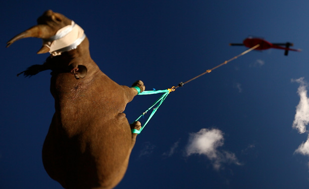 Rinoceronte-negro de variedade ainda não extinta é transportado de helicóptero na África do Sul para formar novas populações em outra parte do país. O rinoceronte-negro-do-oeste não teve a mesma sorte e acabou extinto. (Foto: Green Renaissance)