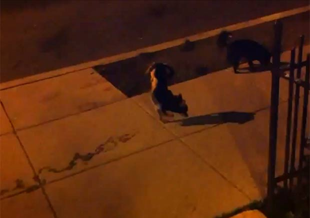Cão faz sucesso na web ao andar sobre duas patas enquanto faz xixi. (Foto: Reprodução/YouTube)