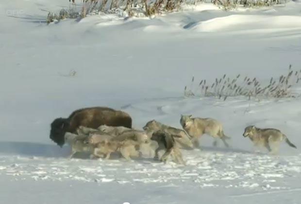 Ataqcado por lobos, animal não tinha conseguido acompanhar os demais membros da manada. (Foto: Reprodução/YouTube)