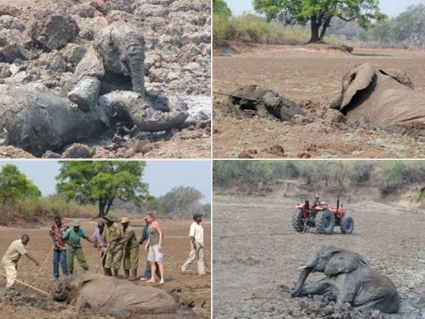 Elefanta e filhote foram resgatados após ficarem entalados na lama. (Foto: Reprodução/normancarrsafaris.com/)