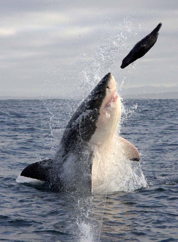 O fotógrafo Michael Rutzen, de 40 anos, usou uma foca de brinquedo para reproduzir o poder de caça do grande tubarão branco. Ele pendurou a foca a cerca de 1,5 metro de distância de seu barco e conseguiu registrar um tubarão branco de seis metros de compr (Foto: Barcroft Media/Getty Images)