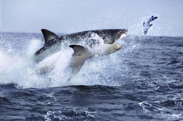 Flagra feito pelo fotógrafo Steve Bloom, de 58 anos, mostra um grande tubarão branco caçando uma foca na África do Sul. A imagem divulgada pela agência 'Barcroft Media' mostra o predador saltando fora d'água para alcançar a presa. (Foto: Steve Bloom/Barcroft Media/Getty Images)