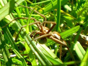 Aranha macho da espécie 'Pisaura mirabilis' (Foto: María J. Albo)