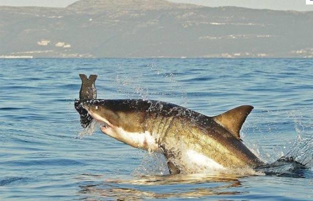 Tubarão branco salta para capturar foca de brinquedo em False Bay, na África do Sul, em julho de 2010. (Foto: Carl de Souza/AFP)