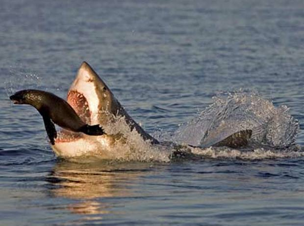 fotógrafo Chris Fallows, de 38 anos, registrou o exato momento em que um filhote de foca conseguiu escapar de um ataque de um tubarão branco de mais de três metros de comprimento em False Bay, na África do Sul, em setembro de 2010. (Foto: Barcroft Media/Getty Images)