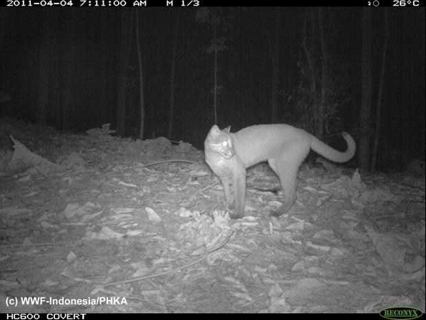 gato-bravo-dourado-da-ásia (Foto: Divulgação/WWF/Reuters)