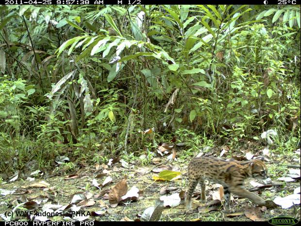 gato-leopardo (Foto: Divulgação/WWF/Reuters)