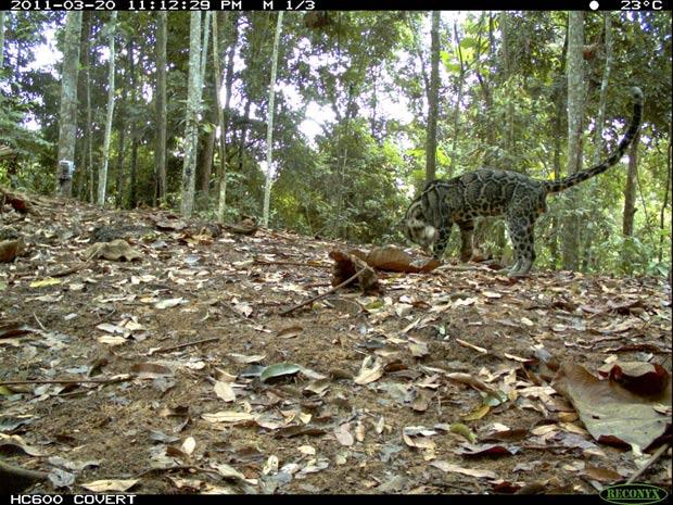 leopardo-nebuloso (Foto: Divulgação/WWF/Reuters)