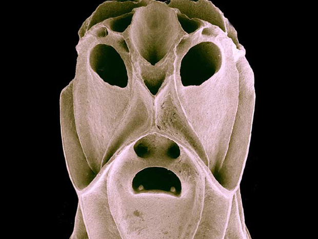 O 'assustador' briozoário vive em colônias e participa da construção de recifes. (Foto: David Salt / Universidade Nacional da Austrália)