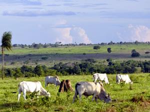 Pasto cederá espaço para lavouras em MT (Foto: Leandro J. Nascimento / G1)