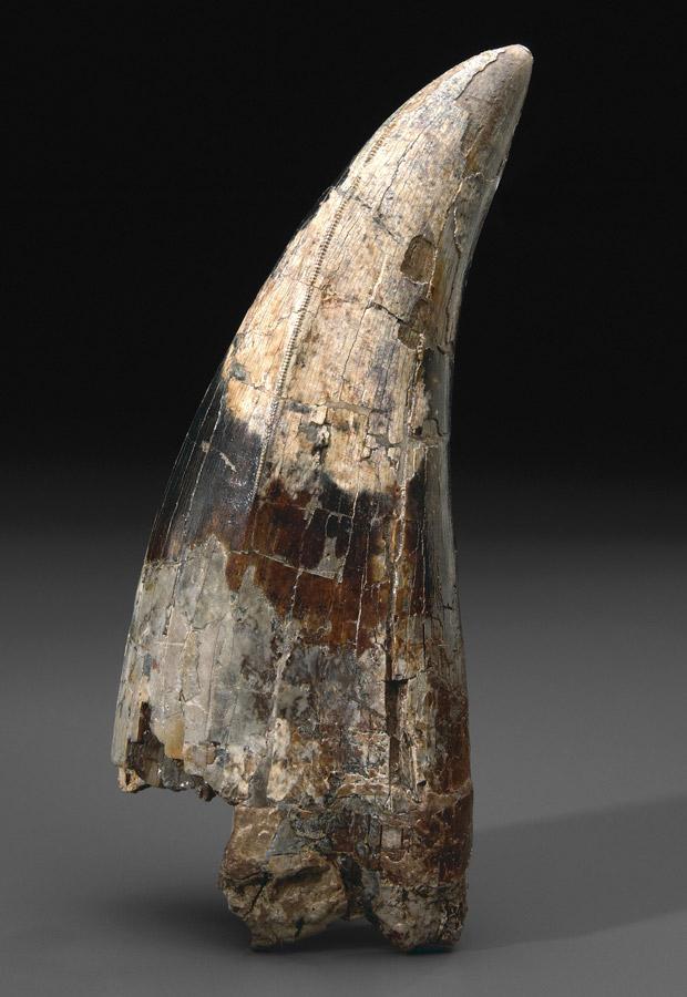 Dente de tiranossauro rex tem, pelo menos, 67 milhões de anos (Foto: Caters News)