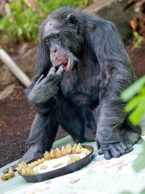O chimpanzé Toni ganhou um bolo pelos seus 50 anos no zoológico de Munique, na Alemanha (Foto: Sven Hoppe/AFP)