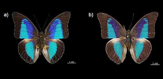 Dois exemplares de duas das quatro novas espécies descobertas pelo DNA  (Foto: Prado BR, Pozo C, Valdez-Moreno M, Hebert PDN)