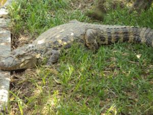 Jacaré é uma fêmea e tem 1 metro e 70 centímetros (Foto: Divulgação:Luiz Silva)