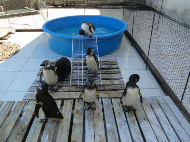 Pinguins ficaram sob os cuidados do IPRAM no Espírito Santo (Foto: Divulgação / IPRAM)