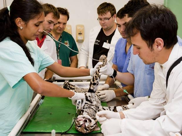 Jaguatirica passa por processo de inseminação artificial com sêmen congelado, feito inédito no Brasil com esta espécie (Foto: Divulgação/Caio Coronel/Itaipu Binacional)