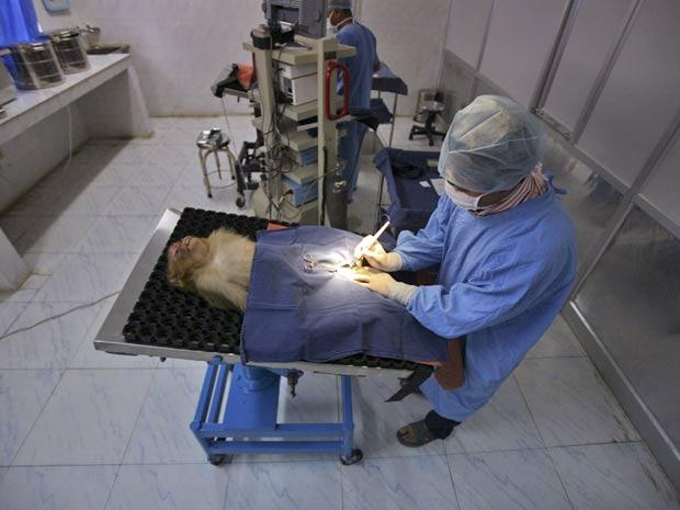 Imagem mostra cirurgia de esterilização feita em macaco na Índia (Foto: Mukesh Gupta/Reuters)