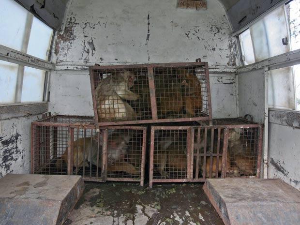 Os animais são capturados por funcionários do governo e também por moradores, que recebem 500 rúpias indianas (pouco mais de R$ 17) por cada animal aprisionado (Foto: Mukesh Gupta/Reuters)