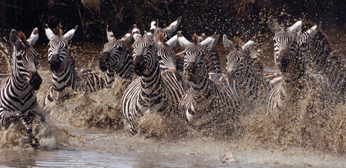 A fotógrafa norte-americana Eli Weiss viajou por diversos países da África para documentar a vida selvagem do continente. A foto acima, de 2006, mostra zebras na Tanzânia (Foto: Eli Weiss/ Wildize Foundation/BBC)
