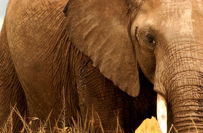 elefante, fotografado em 2005 em Amboseli, Quênia, integra um projeto conservacionista que monitora a espécie há décadas (Foto: Eli Weiss/ Wildize Foundation/BBC)