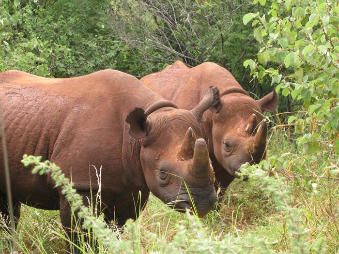 A foto acima foi tirada em Mkomazi, na Tanzânia, onde os rinocerontes correm sério risco de extinção (Foto: Eli Weiss/ Wildize Foundation/BBC)