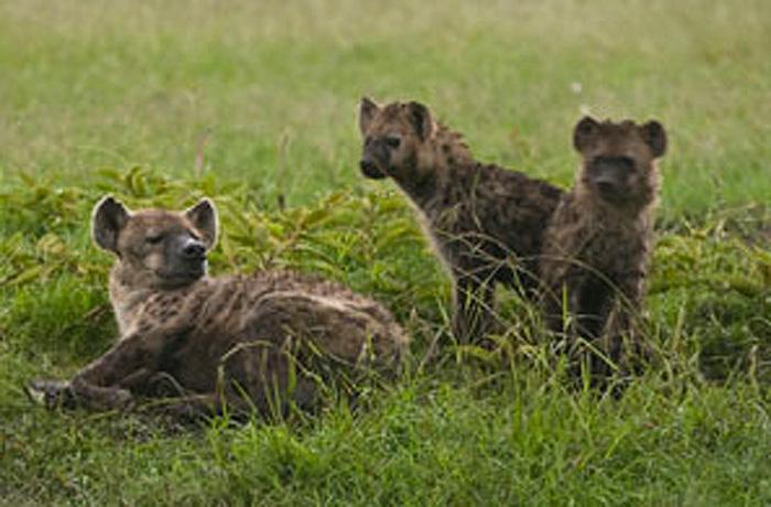 A Wildize financia um projeto para monitoramento de hienas ameaçadas na Namíbia. O animal desempenha um papel importante no ecossistema por ter mandíbulas fortes o suficiente para mastigar ossos (Foto: Eli Weiss/ Wildize Foundation/BBC)