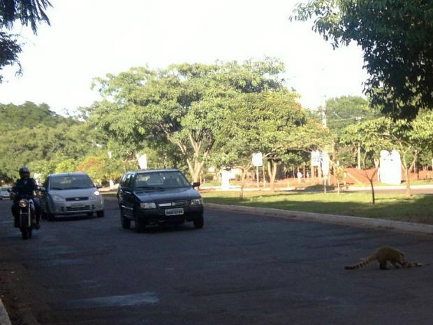 Quati atropelado em Campo Grande (Foto: Divulgação/Marcelo Silva de Oliveira)